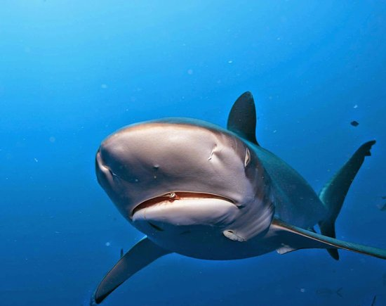 sharks at jupiter with emerald charters
