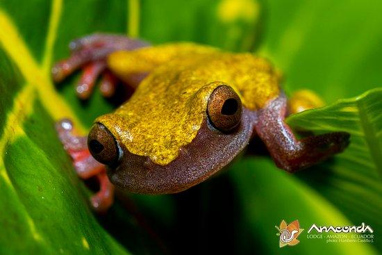 Anaconda Lodge Ecuador Amazonia: One of the hundreds of Frogs!