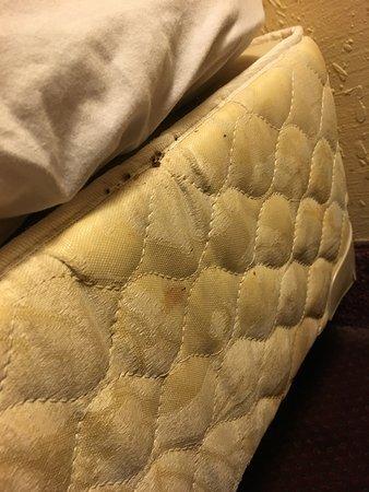 Rodeway Inn Maingate: Bed bugs on mattress