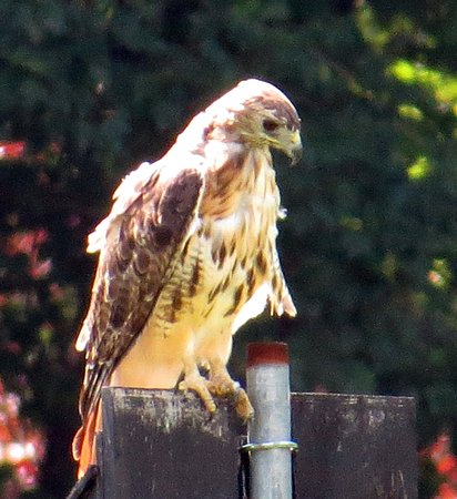 Morristown, NJ: Loantaka Brook Reservation Hawk