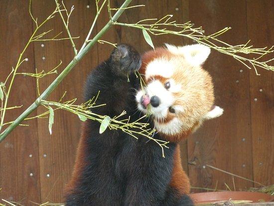 Parc Animalier de Sainte-Croix : panda roux
