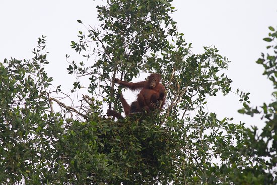 Abai Jungle Lodge: Orangutan female with young in nest making ready for the night
