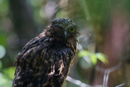 Abai Jungle Lodge: Buffy fishing owl at the lodge