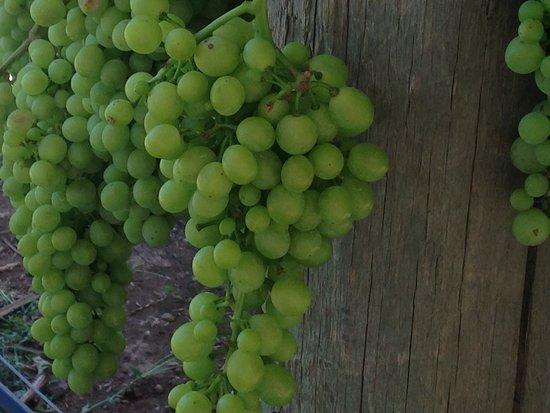 Hood River, Oregón: Barbera grapes!