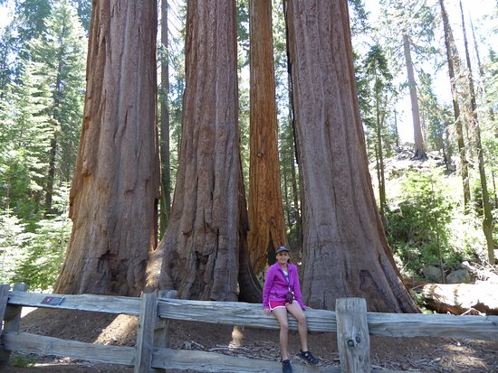 "Three Rivers, Californien: ""family"" of very tall trees"