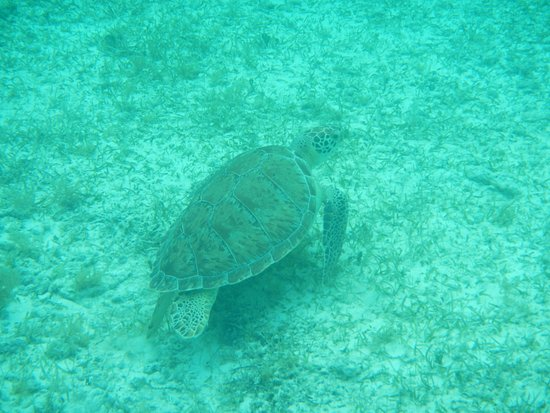 This is the sea turtle we saw when snorkeling at the for Appart hotel 13005