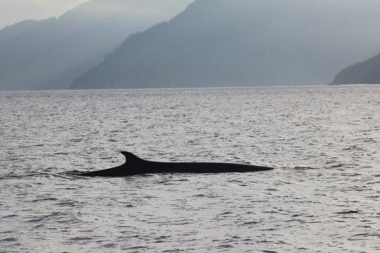 Allens Alaska Adventures: Fin Whale on way to Aialik Glacier