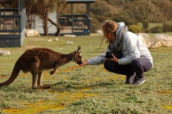 Waves and Wildlife Cottages: Feed the kangaroos , all around the houses