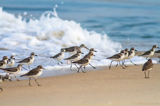 Мангалор, Индия: This is purely a bird beach and I expect people, visitors not to disturb birds, as its their are
