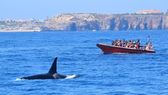 Mar Ilimitado: Orca (Orcinus orca)