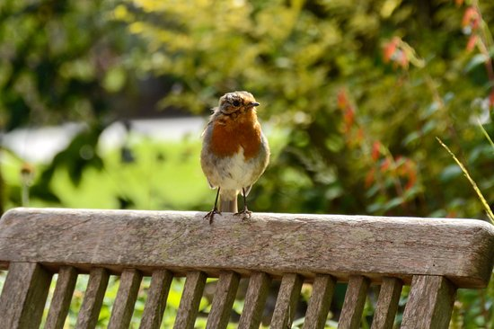 Dalwood, UK: Robin