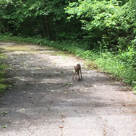 Dr. Edmund A. Babler Memorial State Park : Cute, wobbly legged fawn that was following me!