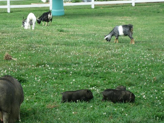 Country View PA Bed & Breakfast: Farm Animals on the Property.