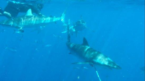 Jupiter, Floryda: sharks