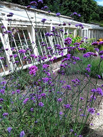 Fox Talbot Museum at Lacock Abbey: A fine display of verbena outside the greenhouse in the botanic garden at Lacock Abbey