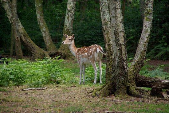 Parc Zoologique de Pescheray: daim en éveil
