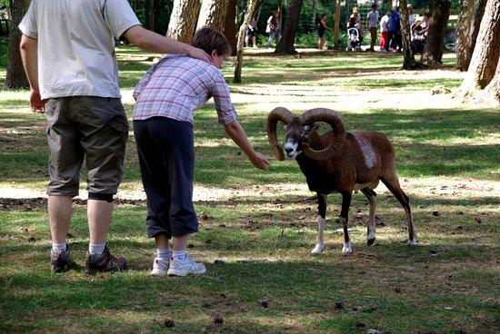 Parc Zoologique de Pescheray: un petit bouchon d'herbe deshydratée pour le bouquetin