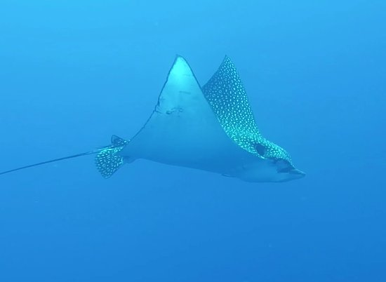 Flamingo Divers: eagle ray at French Cay