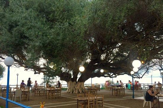 Panorama: olijfboom ouder dan 1500 jaar