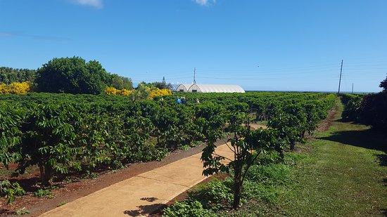 Kalaheo, HI: Coffee plants