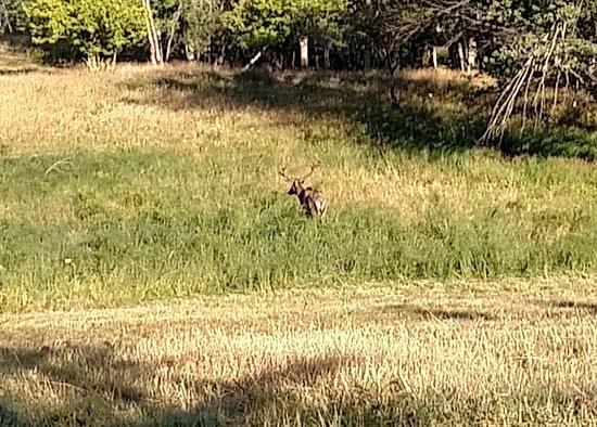 Hillman, มิชิแกน: Wild Bull Elk