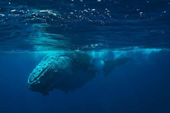 Mounu Island, Tonga: Swimming with Humpbacks