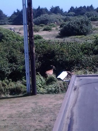 Ocean Shores, WA: A deer was eating. I leaned out our bedroom window to take this picture.