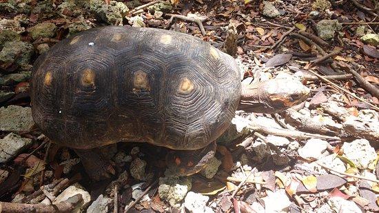 Barbados Wildlife Reserve: Wildlife Reserve - turtles