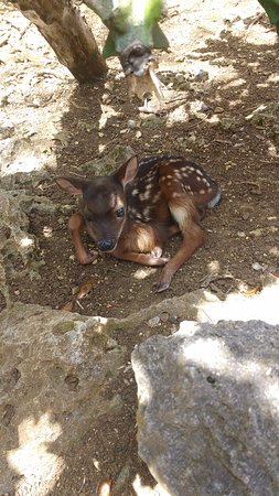 Barbados Wildlife Reserve: Bambi