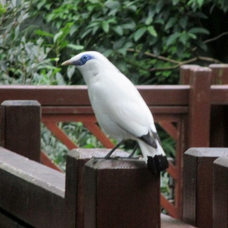 Balinese Mynah bird