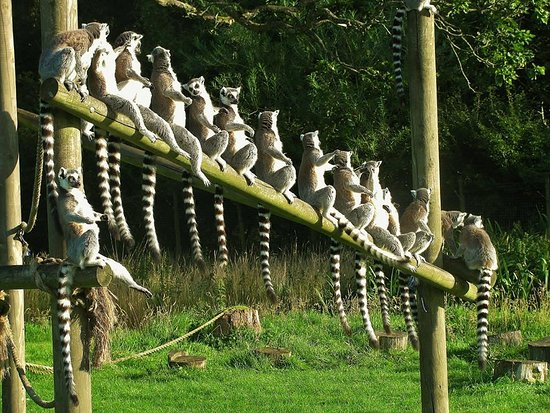 Bassenthwaite, UK: lemurs on the line