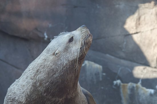 Alaska SeaLife Center: Stellar Sealion