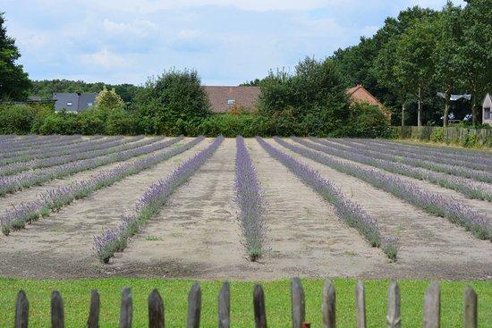 Limburg Lavendel