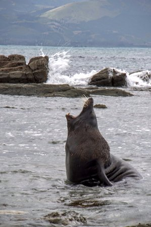 Kaikoura, Nueva Zelanda: Peninsula Seal Colony