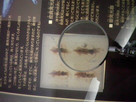 Namerikawa, Japón: 今回、館内で見た唯一のホタルイカの標本