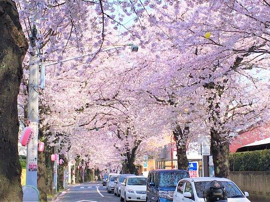 Tokiwadaira Cherry Blossom Promenade