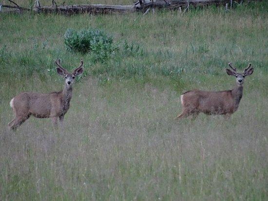 Alpine, Arizona: Two bucks munching grass in Hannagan Meadow