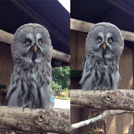 How Caple, UK: Honoured to have been allowed into the aviary to take photos of my favourite owls there!
