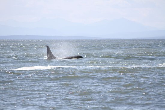 Eastsound, WA: Orca spotted!