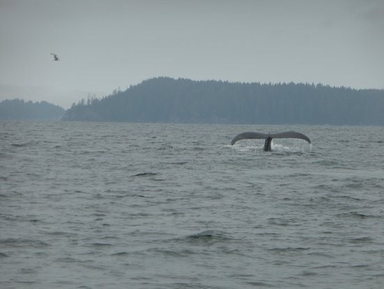 SpyHop Ocean Adventures: Humpback whale diving