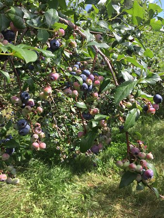 East Dorset, VT: Berries for days!