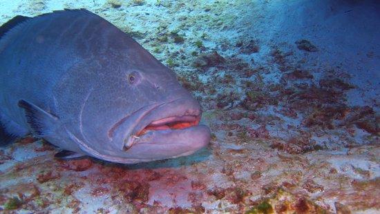 Yucab Reef : huge grouper