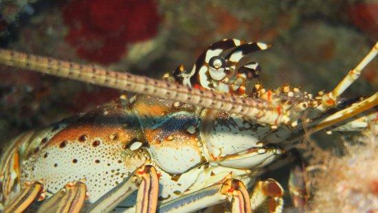 Yucab Reef : lobster