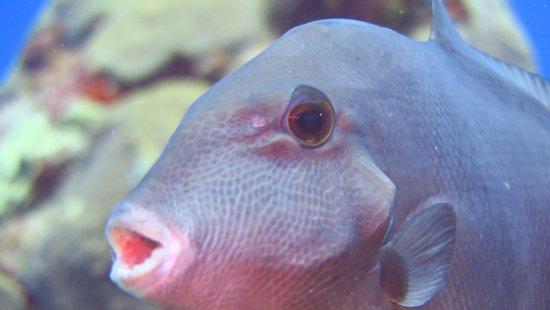 Yucab Reef : trigger fish