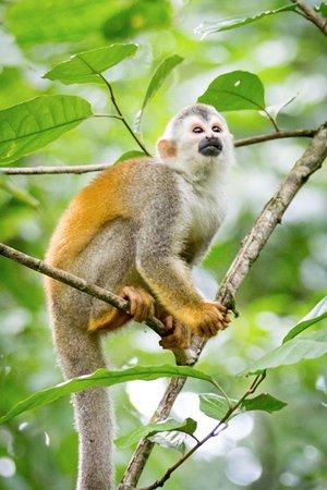 Costa Rica Jade Tours: Squirel Monkey- Manuel Antonio