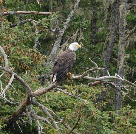 Alert Bay, Canadá: Bald Eagle