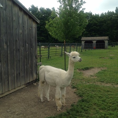 Brandon, VT: Adorable alpaca!