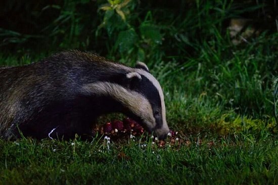 Badger watching at Bawdsey Hall