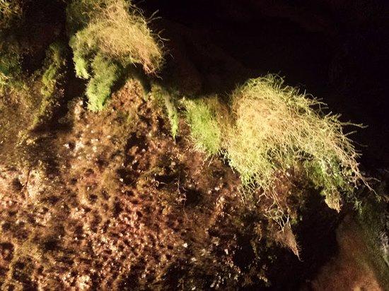 Mousse qui vit dans les grottes photo de grottes de remouchamps sougne remouchamps tripadvisor - Mousse dans les urines ...