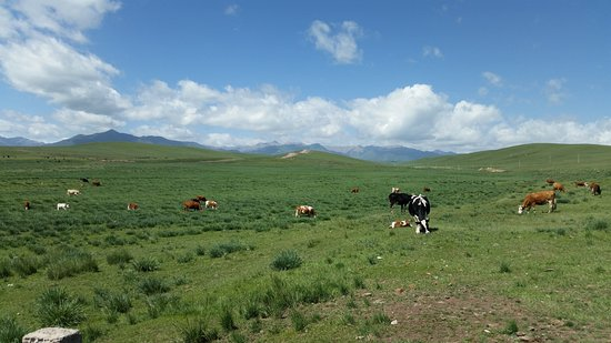 Shandan County, Kina: Grazing cows.